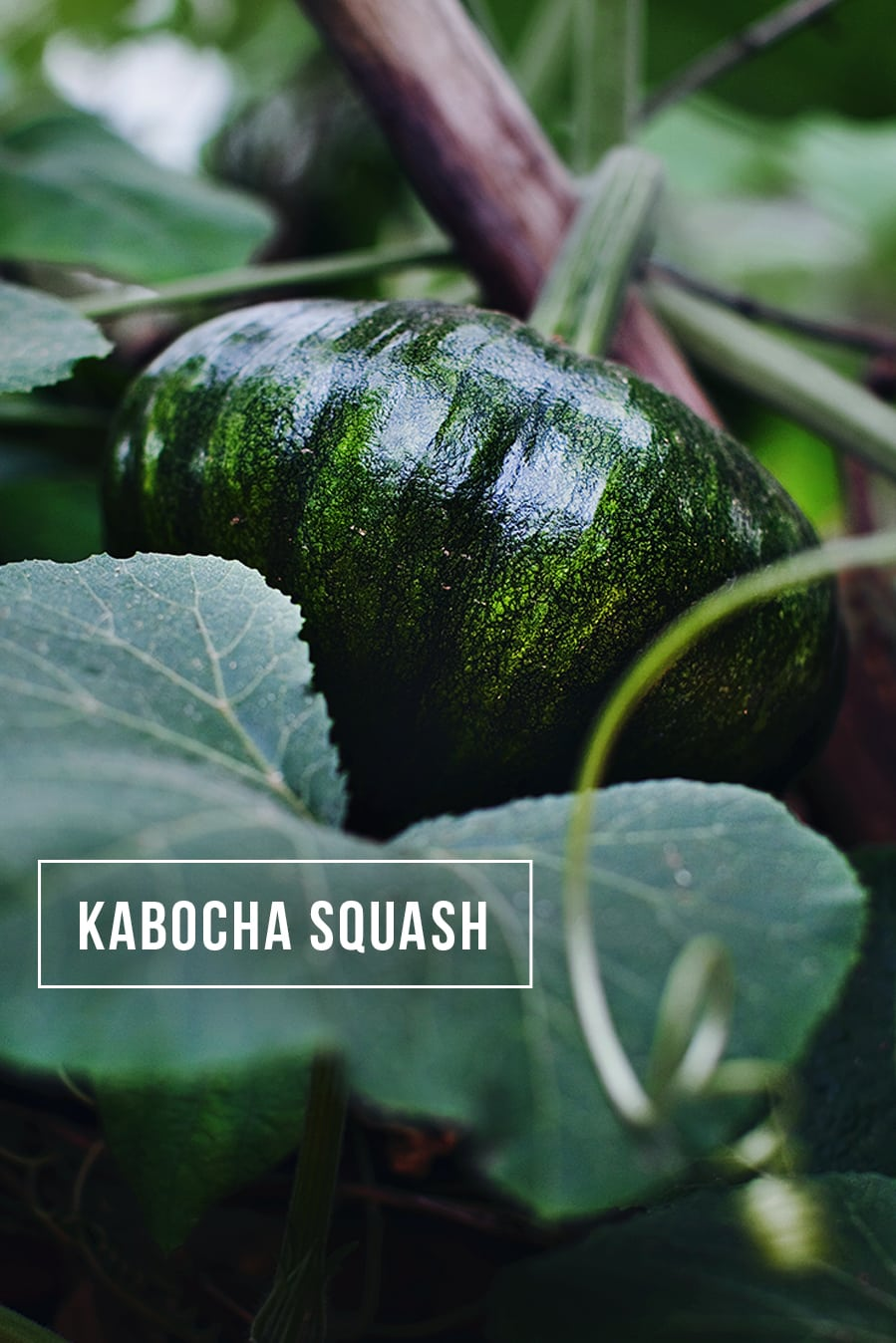 What is a kabocha squash and how to cook with Kabocha squash. Easy recipes for kabocha squash. Red Thai curry with chicken and Kabocha squash.